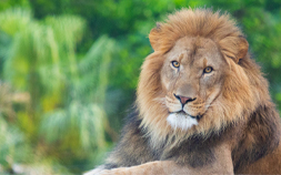 Arnold basks in his new lion habitat at Audubon Zoo