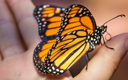 Close-up of a Monarch Butterfly.