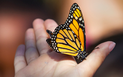 A Monarch butterfly lands on a person's hand.
