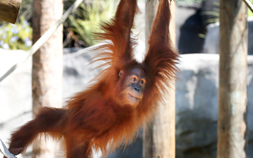 Menari, an orangutan at the Audubon Zoo, swings and plays.