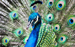 Closeup photo of a colorful peacock.