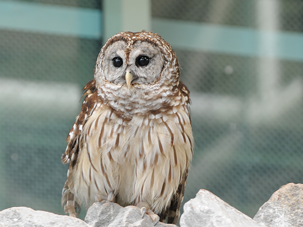 A barred owl sits on a rock at the Audubon Aquarium of the Americas.