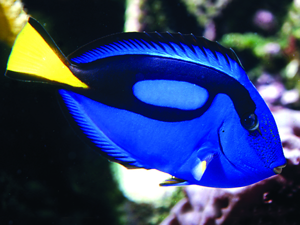 A brightly colored Blue Surgeonfish swims at the Audubon Aquarium of the Americas.