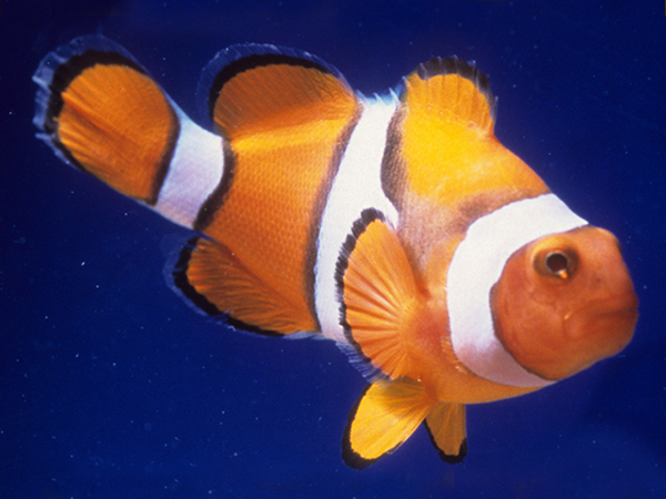 An orange and white clownfish swims in clear blue water.
