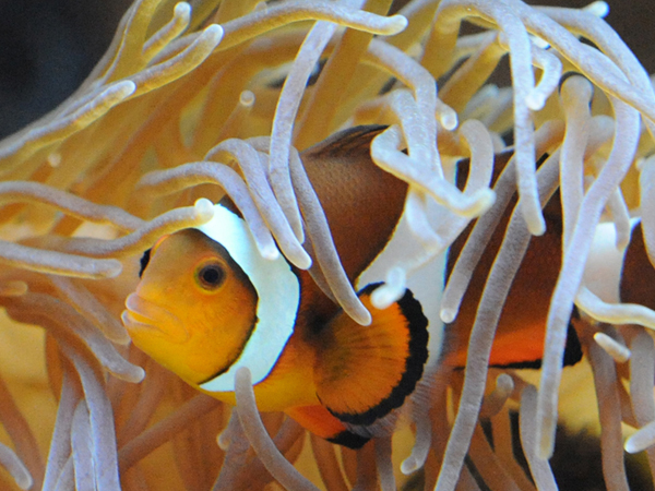 An orange and white clownfish peeks out from sea anemone.