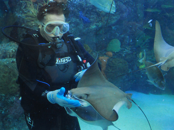 A diver at Audubon Aquarium of the Americas feeds the stingrays..