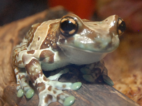 Close-up of a Milk Frog sitting on a log at the Audubon Aquarium of the Americas.