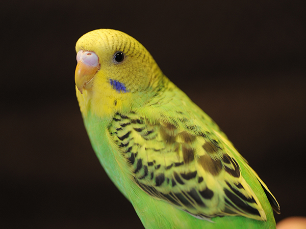 Close up of a yellow and green parakeet.