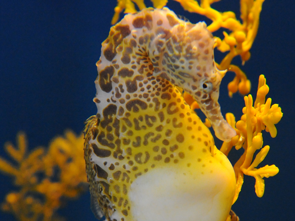 A Potbellied Seahorse swims along a reef in the Audubon Aquarium of the Americas.