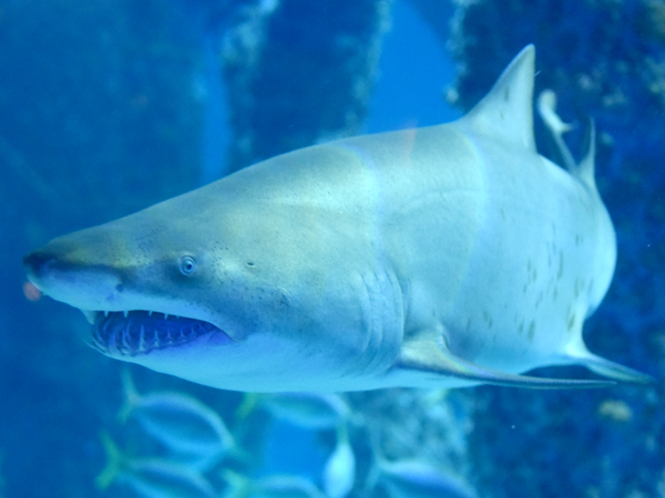Image of a Sand Tiger Shark at the Audubon Aquarium of the Americas.
