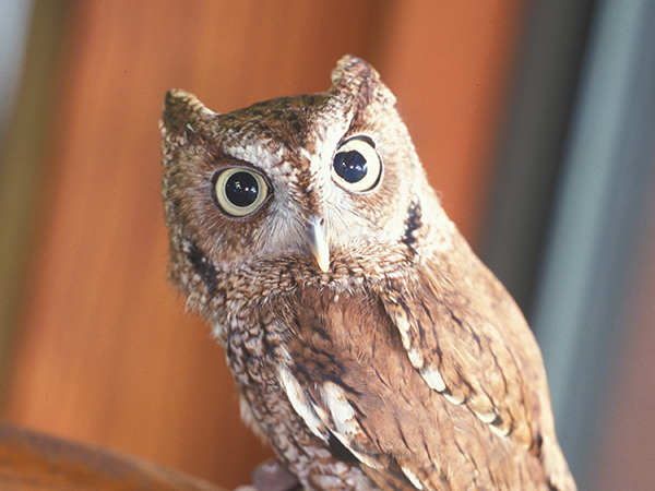 An Eastern Screech Owl stares intently into the camera at the Audubon Aquarium of the Americas.