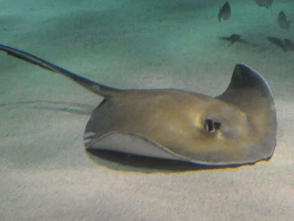 A Southern Stingray swims along the sand at the bottom of a  tank at Audubon Aquarium of the Americas.