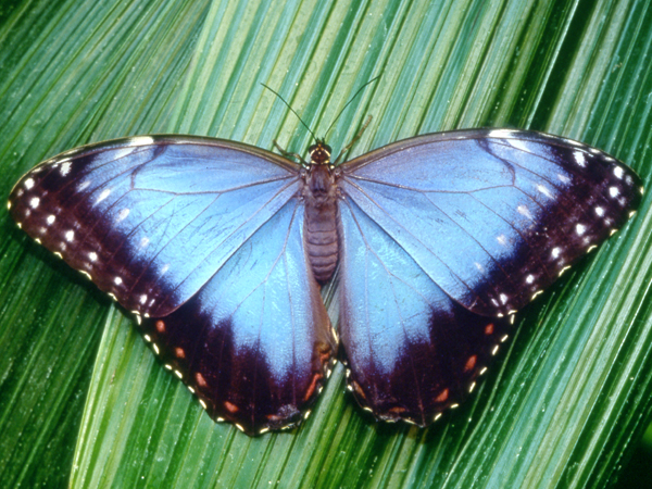 Close-up photo of a Blue Morpho Butterfly on a leaf.