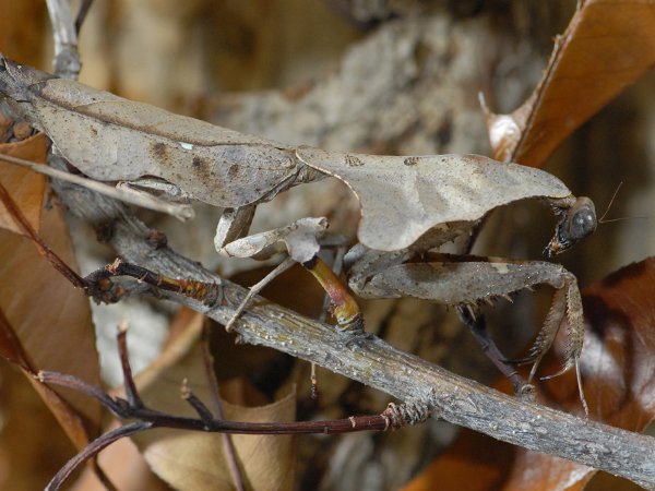 Close-up photo of a Dead Leaf Mantid.
