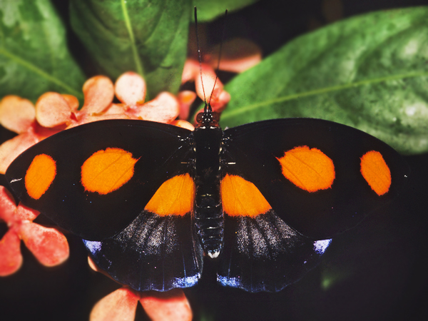 An orange and black Grecian Shomaker butterfly sits on a leaf at the Audubon Butterfly Garden and Insectarium.