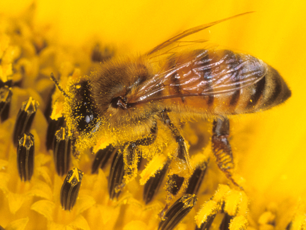 Close-up photo of a honey bee.