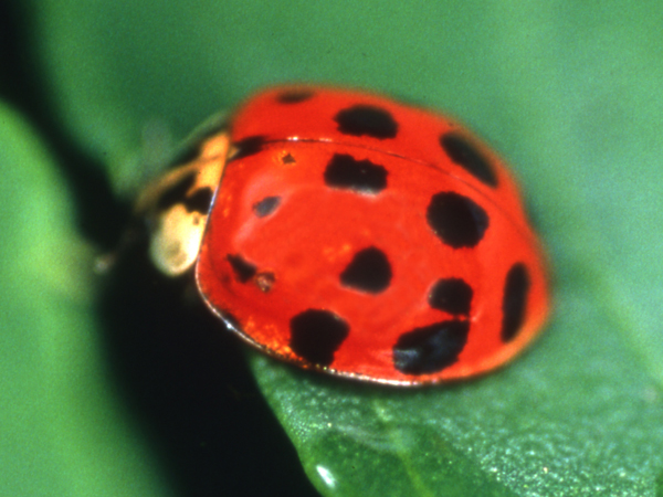 A red and black ladybug sits on a leaf.