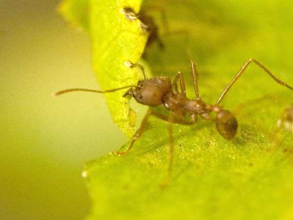 Closeup photo of a Leafcutter Ant.