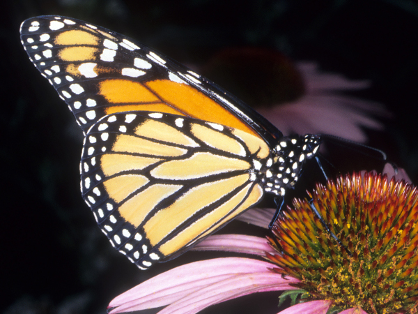 A Monarch Butterfly sits on a daisy.