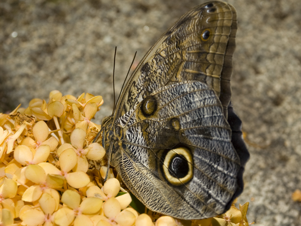 A Owl Butterfly sits on flowers.