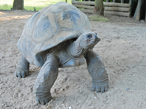 A large Aldabra Tortoise at the Audubon Zoo.