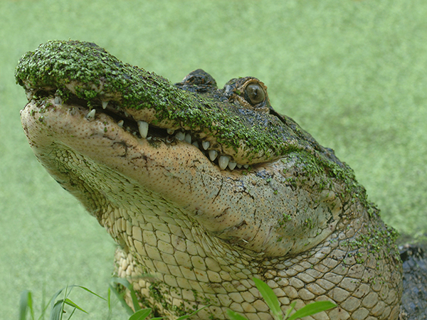A close-up photo of an alligator covered in moss floating in a swamp at the Audubon Zoo.