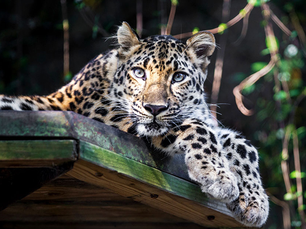 An Amur leopard stares down intently at the camera from a high perch at the Audubon Zoo.