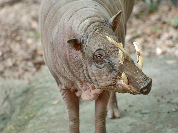 Photo of a Babirusa at the Audubon Zoo.