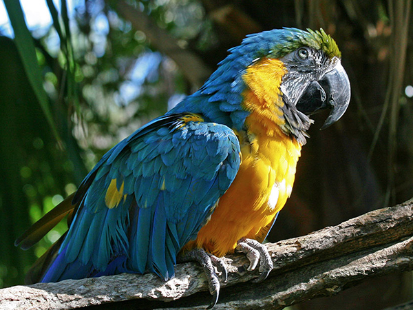 Side view of a Blue and Gold Macaw.