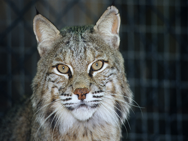 A bobcat looks ahead at the Audubon Zoo.