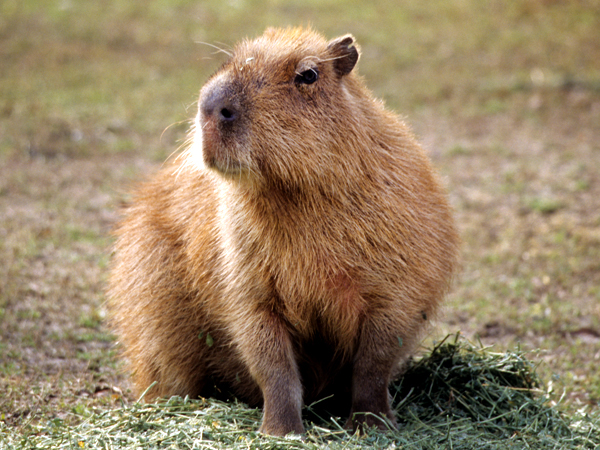 A Capybara stands in grass at the Audubon Zoo.