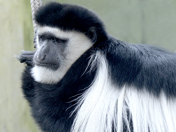 Close up of a Colobus Monkey holding on to a branch at the Audubon Zoo in New Orleans.