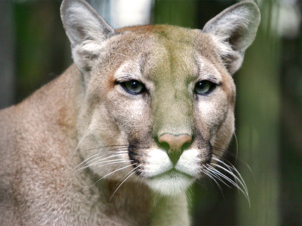 Close-up photo of a Cougar.