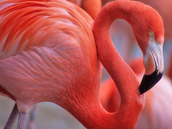 Closeup of a pink Caribbean flamingo at the Audubon Zoo.