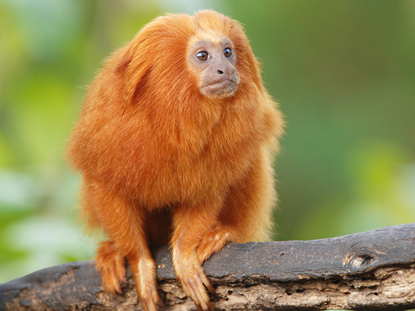 A Golden Lion Tamarin sits on a tree limb at the Audubon Zoo.