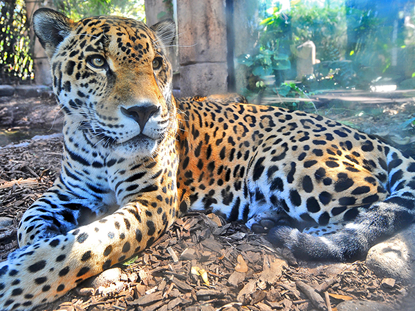 A jaguar gazes out at the Audubon Zoo in New Orleans.