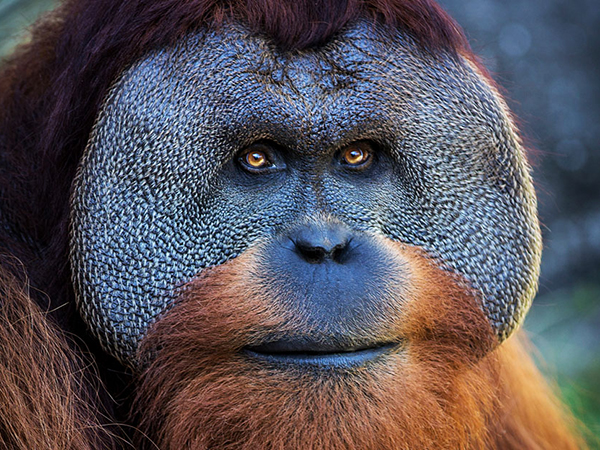 A sumatran orangutan sits next to a tree at the Audubon Zoo.