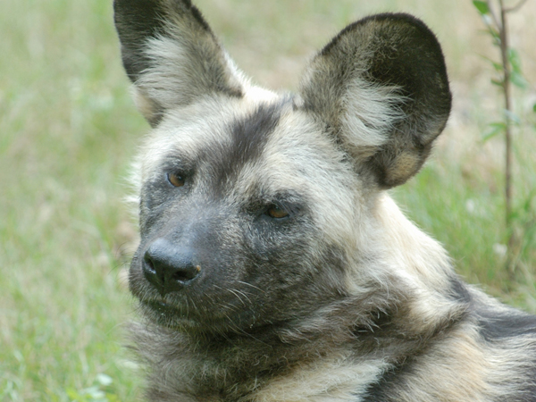 A black and grey speckled African Painted Dog pup stands with big ears pointed up to the air.
