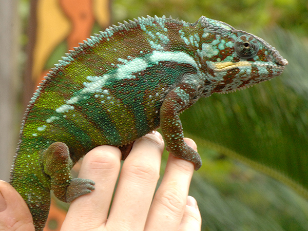 A panther chameleon stands on a person's hand.