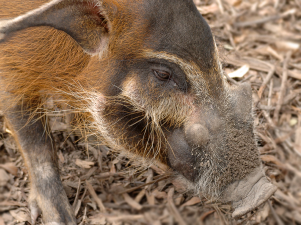 Close-up photo of a Red River Hog.