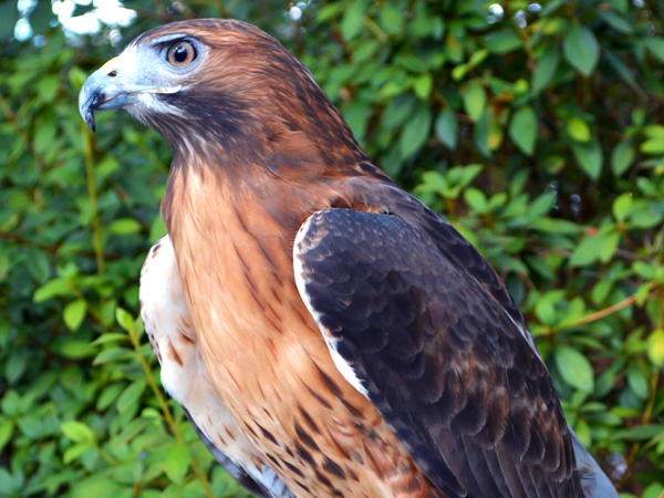 Red Tailed Hawk Zoo
