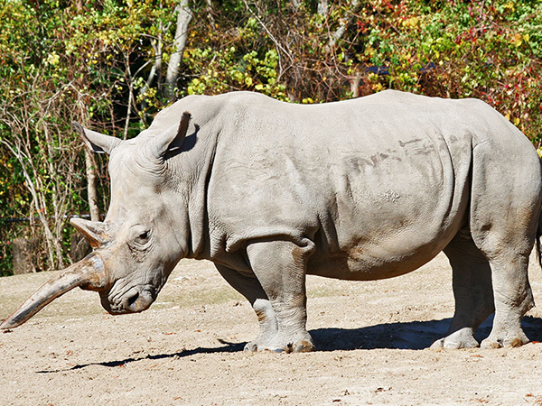 A white Rhinoceros stands in it's habitat at the Audubon Zoo in New Orleans.
