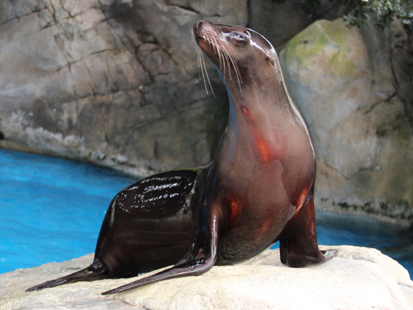 A California Sea Lion sits majestically on a rock at the Audubon Zoo.