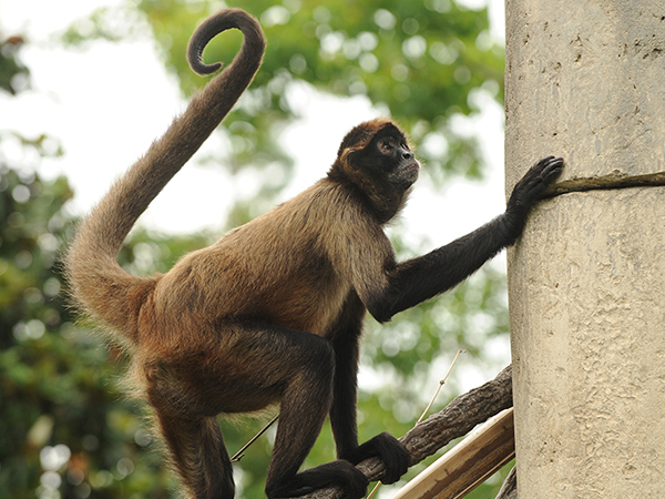 A spider monkey stands on a platform with it's hand on a column.
