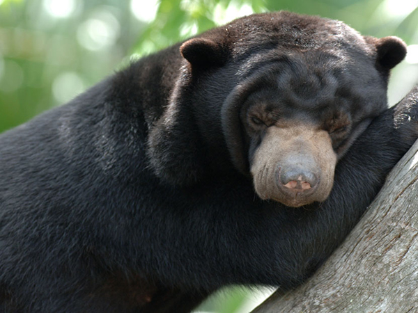Close-up of a Malayan Sun Bear climbing a tree.