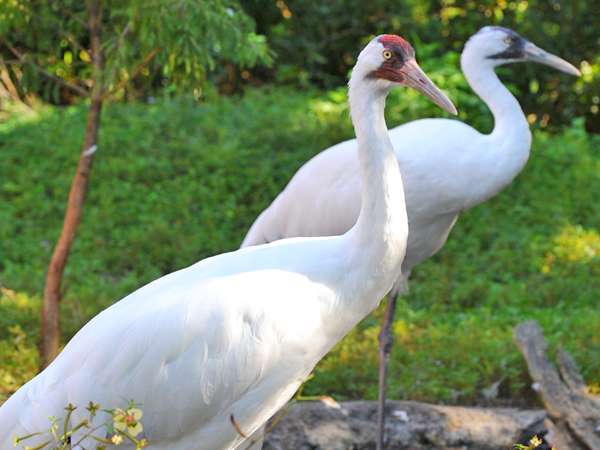Side view of 2 white whooping cranes.