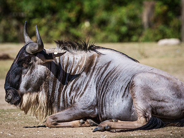 Side view of a Wildebeest sitting.