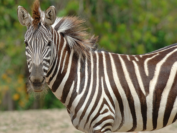 Sideview of a Zebra.
