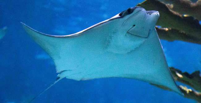 A cownose ray glides in the water.