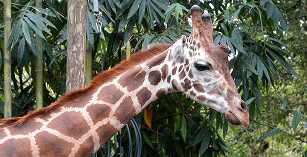 Giraffe adopt an animal for Giraffe childcare fees